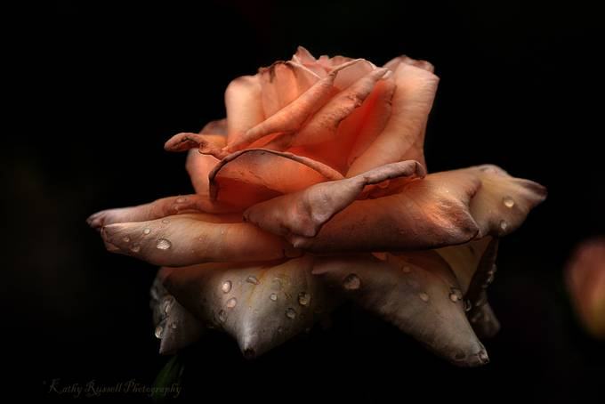 Dying Rose by scarlettnjo - Macro And Patterns Photo Contest
