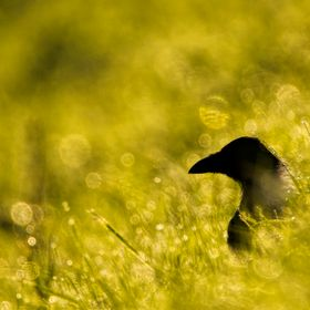 The carrion crow (Corvus corone) in the morning dew