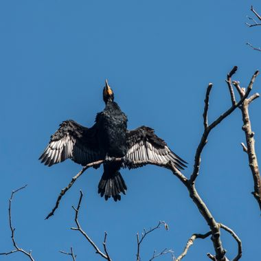 Cormoront Drying Wings