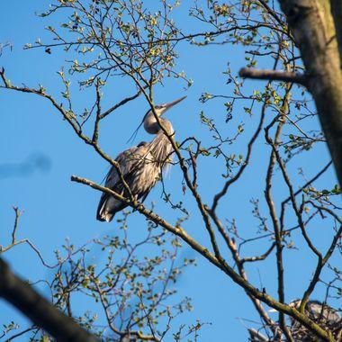 Heron Sunning