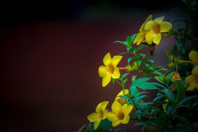 Yellow Bell Flower