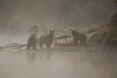 Misty morning bears