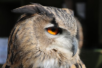 Daisy the Eagle Owl