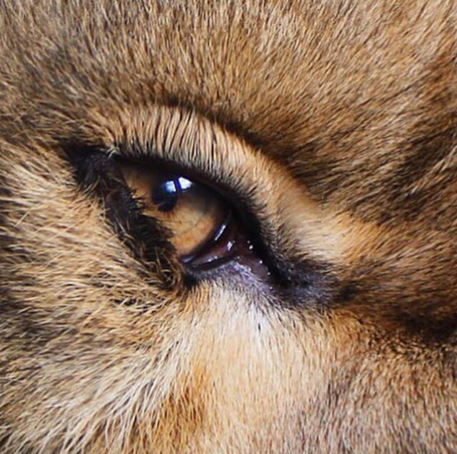 Eye of a lioness