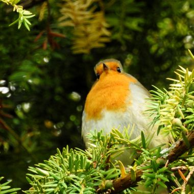 Rockin Robin, high up on His perch in the Nairn wids.