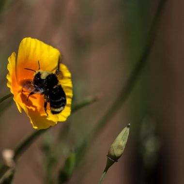 Bumble Bee Pollination