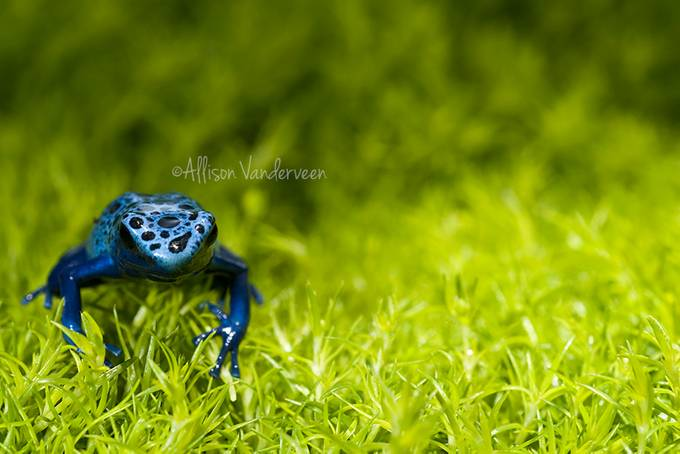 Blue Frog by alliepiegal21 - TiltShift Effect Photo Contest