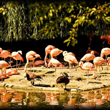 The many flamingos in Dortmund Zoo.