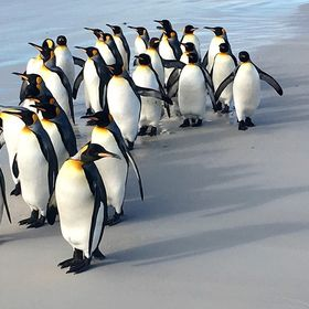 Beautiful shot of Penguins from the Falkland Islands