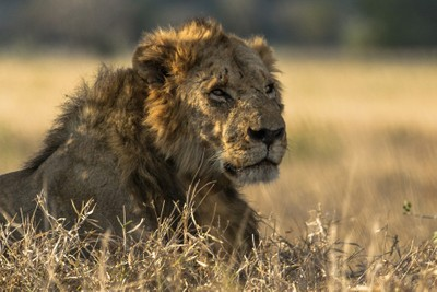 Dominant Male Lion