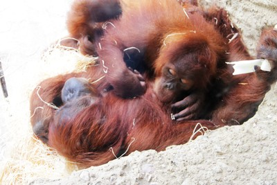 Child Orangutan with a mother