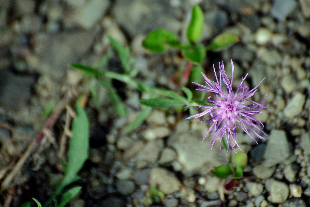 """Taken with Nikon D5100 using AF-S Nikkor 70-300mm 1:4.5-5.6 G lens. Enhanced and resized using Photoshop Elements 14.1. This tiny wildflower is only about 1 inch in diameter. I am not sure why it is call """"Black"""" Knapweed when the flower is really a light shade of purple."""