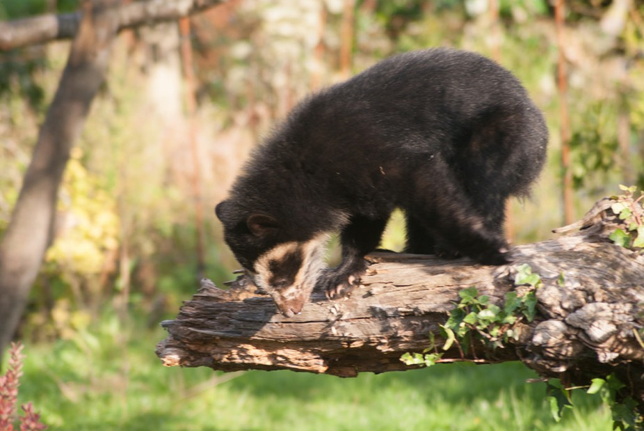 Spectacled Bear Cub