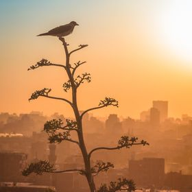 That bird found the best place on the top of that tree to enjoy watching the beautiful sunset on the ancient Islamic Cairo.