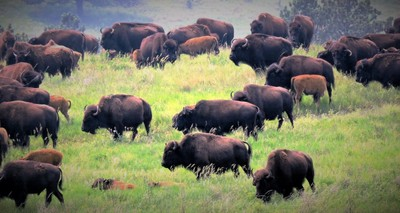 Buffalo (bison) herd in Custer State Park, Custer, SD