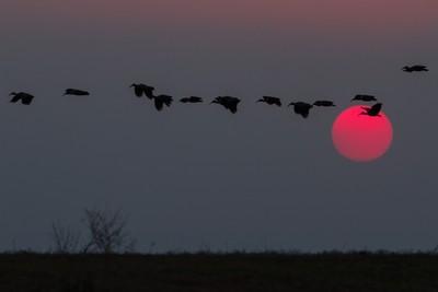 Hadedah Ibis at Sunset
