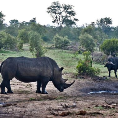 Tense standoff at a waterhole between a Cape buffalo and a rhino in the Kruger National Park in South Africa.