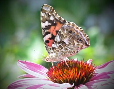 Painted Lady on Echinacea