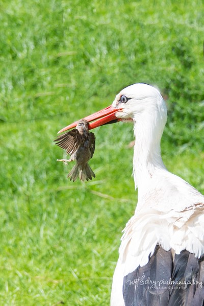 Stork getting a snack