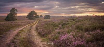 Heath in bloom