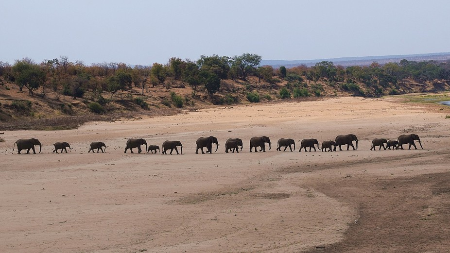 Elephants crossing a dry riverbed in the Kruger National Park - South Africa