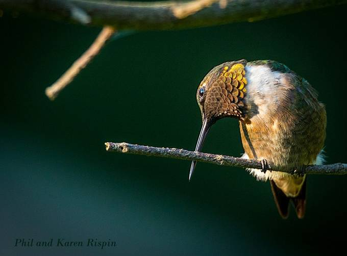 Hummingbird Preening Itself on a Branch by philipdrispin - Monthly Pro Vol 35 Photo Contest