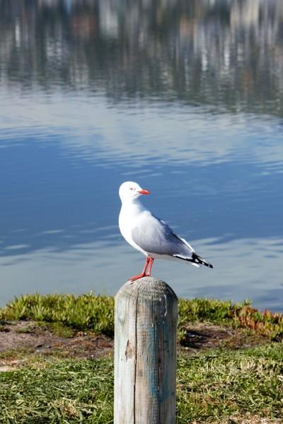 Red-billed gull, Avon-Heathcote Estuary, Christchurch