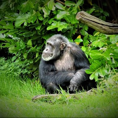 Enjoyed a visit to Chester zoo loving this monkey looking so chilled out