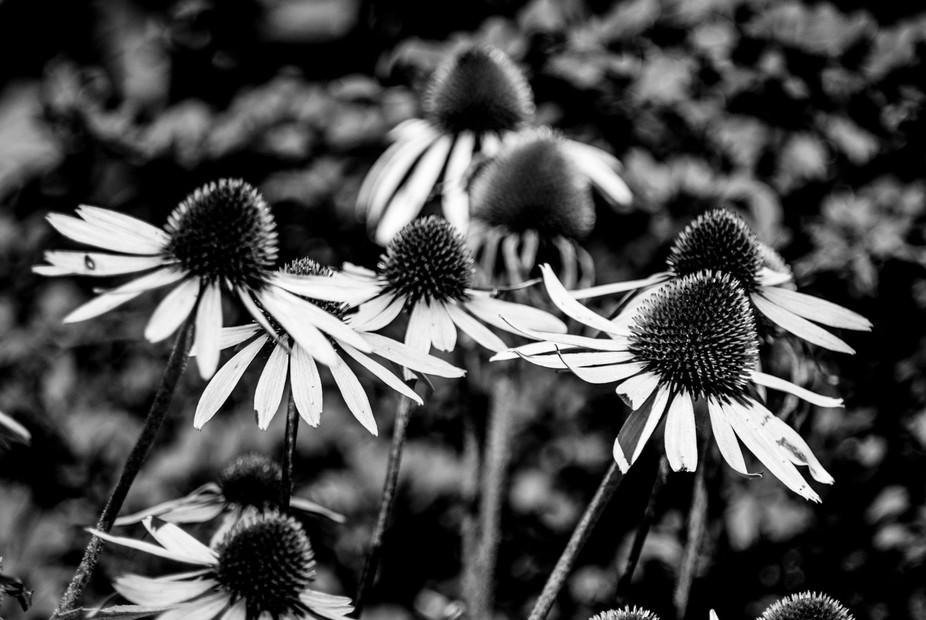 echinacea monochrome