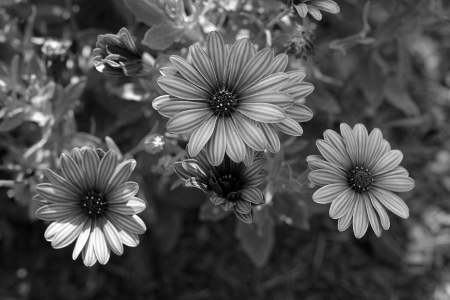 BWpurpleflower