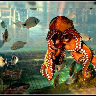 Octopus in tank at Posidonio Bay.