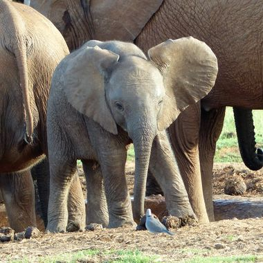 Baby Elephant eyeing a dove
