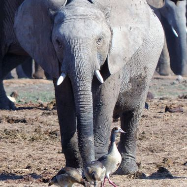 Young Elephant confronting Egyptian Geese