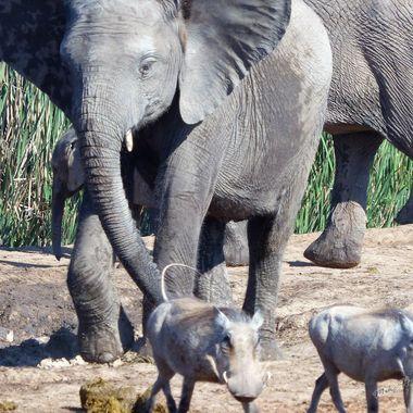Young Elephant chasing Warthog