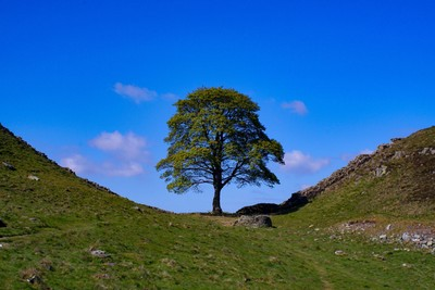 Lone Sycamore tree with blue sky and green landscape
