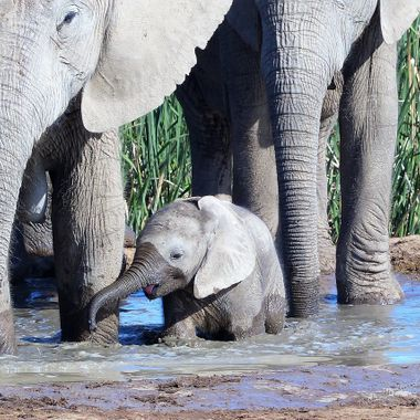 Baby Elephant drinking water