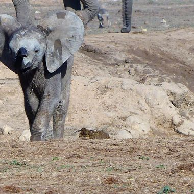 Baby Elephant challenging the camera