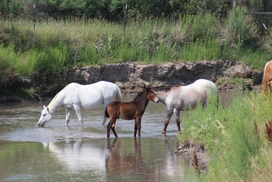 Horses and young mule cooling off in the Sevier River near my home in Annabella, Utah