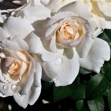 Taken at the International Rose Test Garden in Portland, OR