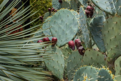 Prickly Pear Cactus at the Alamo