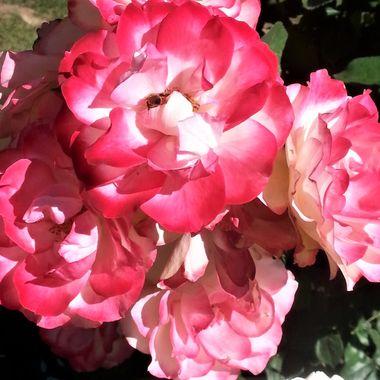 Taken at International Rose Test Garden in Portland, OR