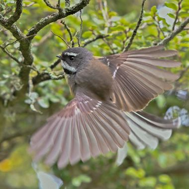 Fantail ....  landing in our backyard Beech