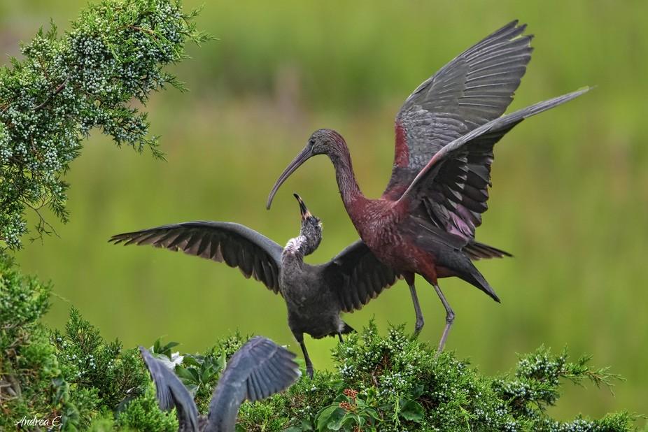 Glossy ibis feeding her baby