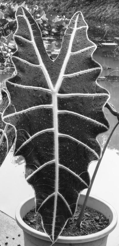 Leafy shield