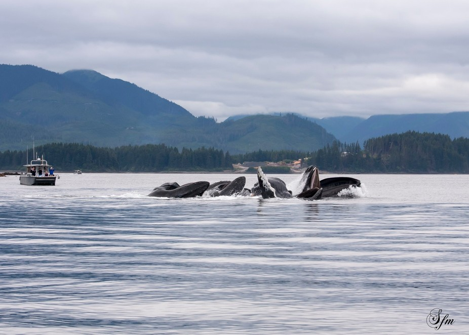 Whales at Icy Strait Point, Alaska