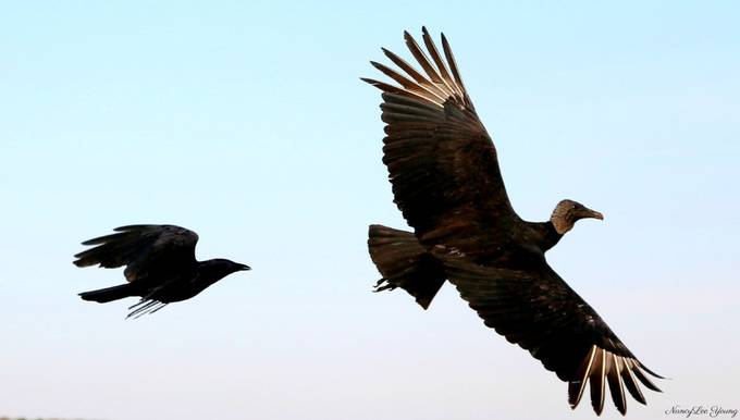 crow chasing vulture