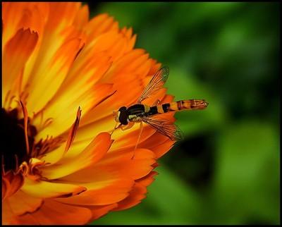 RIMG4289 hoverfly on orange