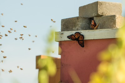 Butterflies hanging near bees to collect pollen
