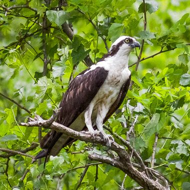 One of the few Ospreys that did not squawk at all. Great poser!