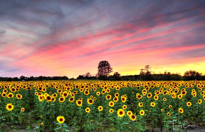 Setting Sun-Flowers by terryc - Bright Colors In Nature Photo Contest